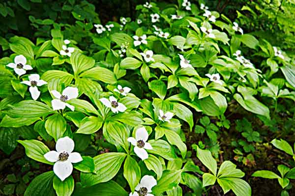 all about groundcover Shade Lover Bunchberry Cornus canadensis