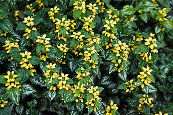 all about groundcover Shade Lover Yellow Archangel (Lamium galeobdolon)