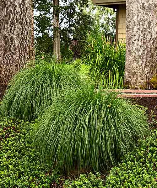 all about groundcover Moisture Seeker Tufted hair grass (Deschampsia caespitosa)