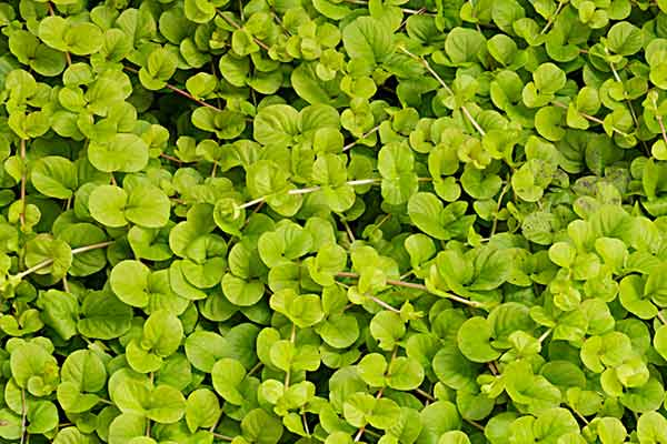 all about groundcover Moisture Seeker Golden Creeping Jenny (Lysimachia nummularia 'Aurea')