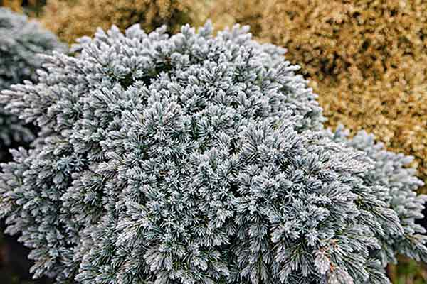 all about groundcover drought tolerant 'Blue Star' Juniper (Juniperus squamata)