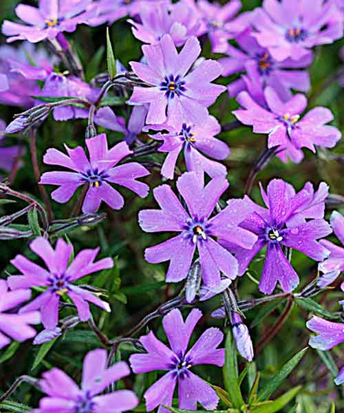 all about groundcover sweet smelling with flower Purple Beauty' moss phlox (Phlox subulata)