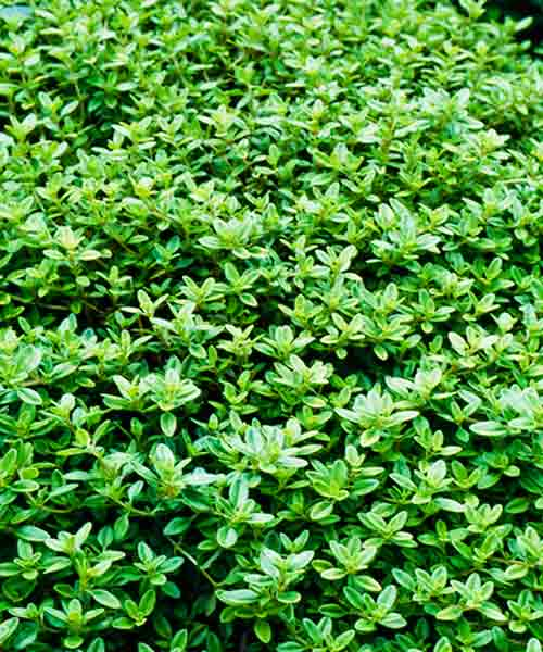 all about groundcover sweet smelling with flower Lemon Thyme (Thymus citriodorus)