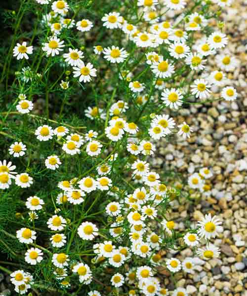 all about groundcover sweet smelling with flower Roman Chamomile (Chamaemelum nobile)