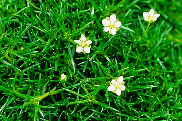 all about groundcover foot friendly Irish moss (Sagina subulata)