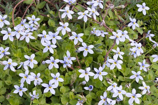 all about groundcover foot friendly Blue Star Creeper (Isotoma fluviatilis)
