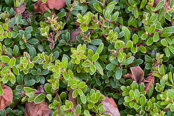 all about groundcover slope colonizers Bearberry (Arctostaphylos uva-ursi)