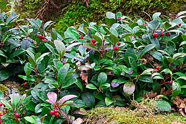 all about groundcover slope colonizers Wildlife Magnets (Gaultheria procumbens)