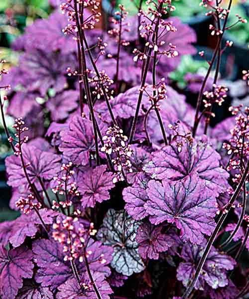 all about groundcover Wildlife Magnets 'Sugar Plum' Coral Bells (Heuchera)
