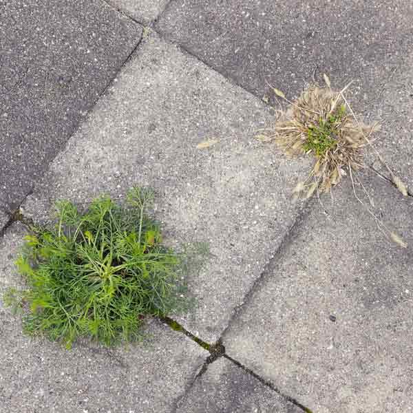 concrete block sidewalk or walkway with weeds growing through the cracks