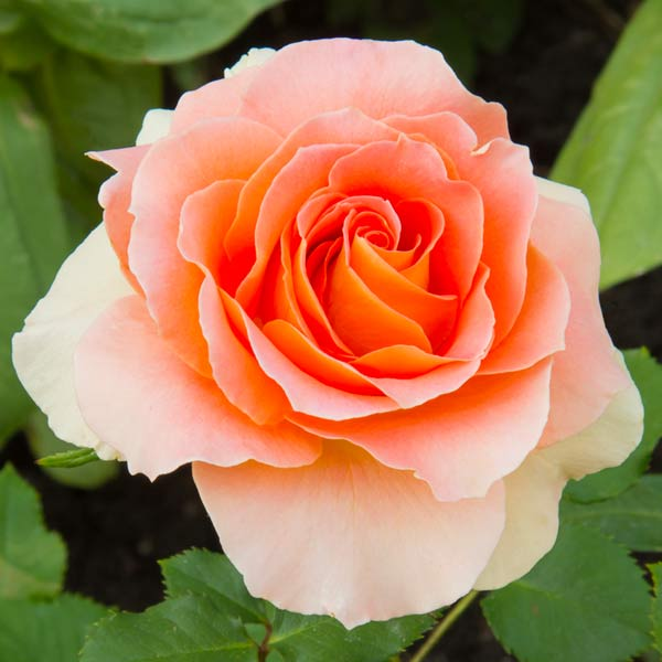 secret garden 'Peace' rose