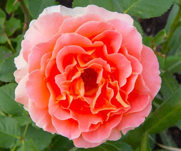 secret garden 'Polka' climbing rose flower