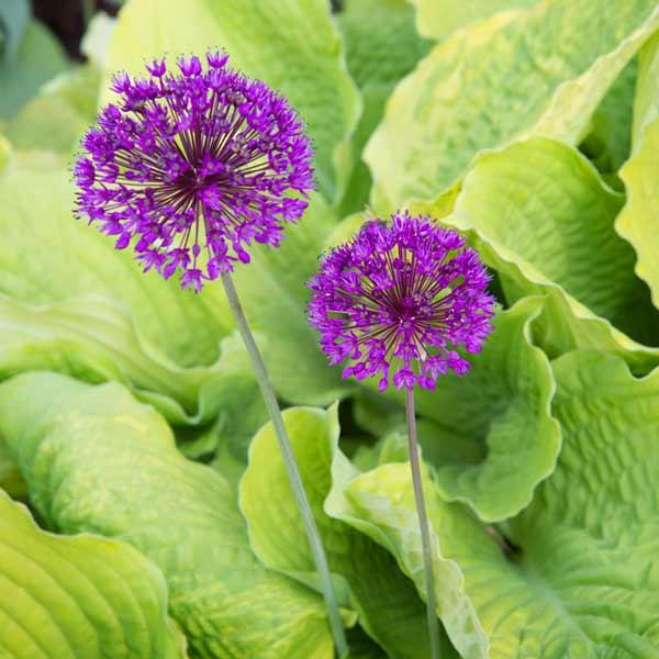 secret garden 'Frances Williams' hosta with 'Purple Sensation' allium