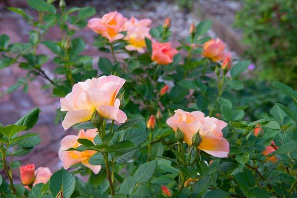 secret garden 'Morden Sunrise'