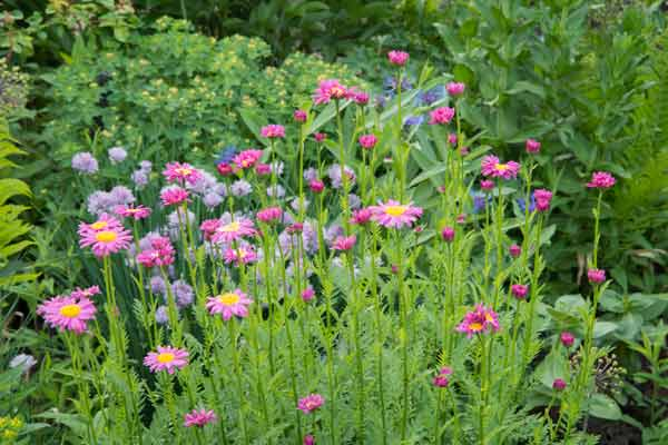 secret garden 'Robinson's Red' painted daisies (Tanacetum coccineum) chive lavender flowers