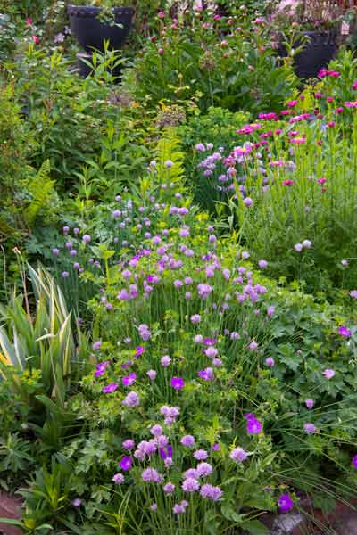 secret garden edible chives and purple flowers, perennial bed cranesbill hardy geranium