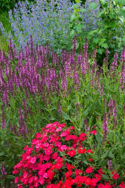 secret garden 'Walker's Low' catnip (Nepeta racemes) 'Pink Friesland' salvia (S. nemorosa) Dianthus