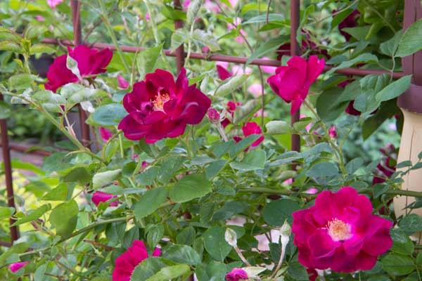 secret garden 'Dr. Huey' rambling rose blossoms