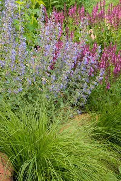secret garden 'Walker's Low' catnip (Nepeta racemes), 'Pink Friesland' salvia (S. nemorosa), ponytail grass (Stipa tenuissima)