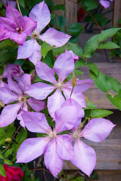 secret garden 'Margaret Hunt' clematis, vines, arbor