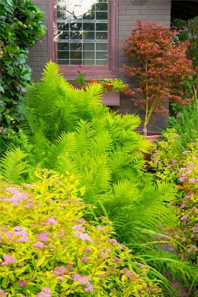 secret garden 'Limemound' spirea (S. japonica), ostrich fern (Matteuccia struthiopteris), 'Shirazz' Japanese maple