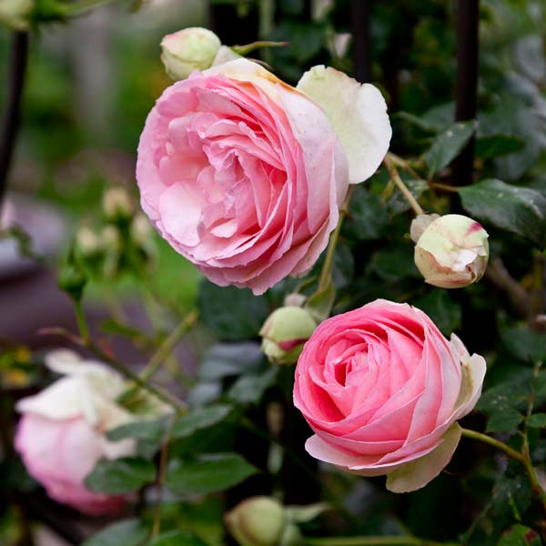 garden planning romantic garden eden climbing rose