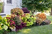 coleus color garden