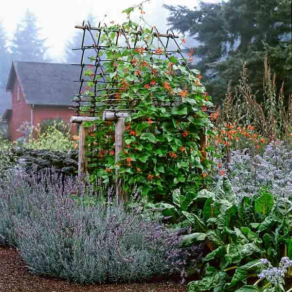edible plant garden scarlet runner beads, lavender, yellow chard
