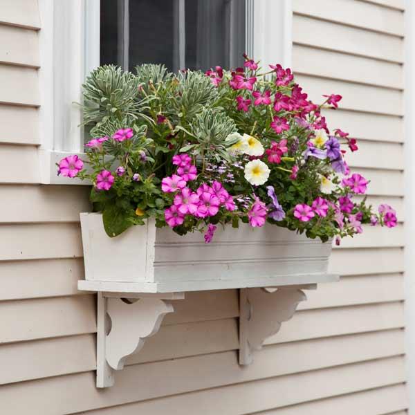 window box plantings with euphorbia, petunias, purple lobelia, nicotiana