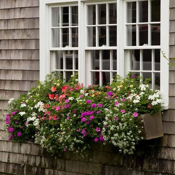 window box plantings with lantanas, impatiens, geraniums, petunia, sweet alyssum in front of three windows