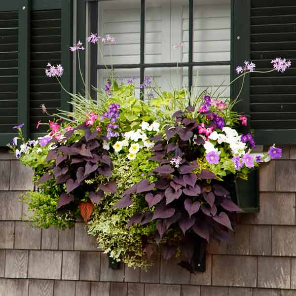 window box plantings with ivy, purple sweet potato vine, society garlic, petunias, angelonia, pink nicotiana, impatiens