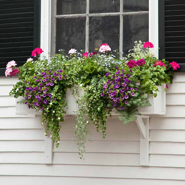 window box plantings with bacopa, dichondra, parrot's beak, geranium, lobelia, diamond frost euphorbia, calbirachoa