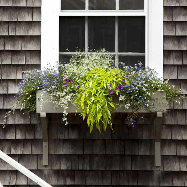 window box plantings with sweet potato vine, lobelia, bcopa, diamond frost euphorbia, calibrachoa, licorice