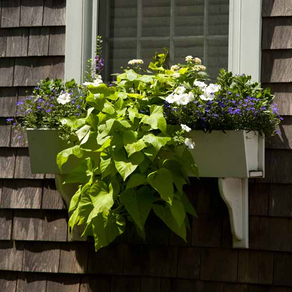 window box plantings with sweet potato vine, white petunias, angelonia, lobelia, lantana