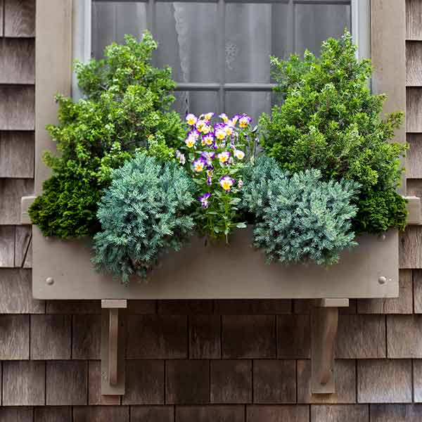 window box plantings with dwarf evergreens, annuals
