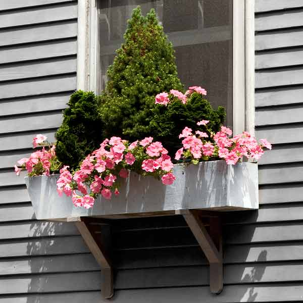 window box plantings with dwarf alberta spruce, dwarf hinoki cypress, pink petunias