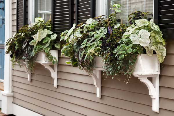 window box plantings with caladium, rex begonia, dichondra, coleus, plectranthus