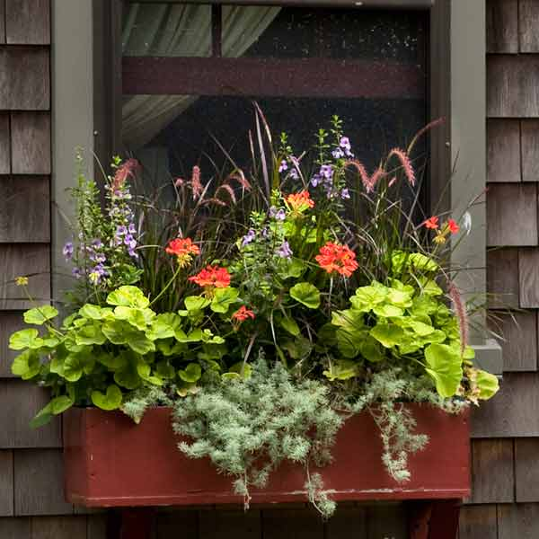 window box plantings with purple fountain grass, geraniums, angelonia, stonecrop