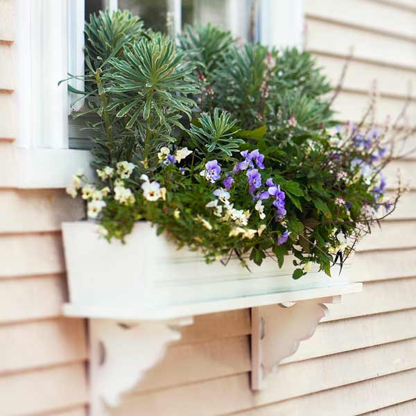 window box plantings with euphorbia, tiarellas, violas