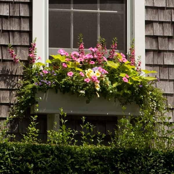 window box plantings with sweet potato vine, bacopa, purple fan flower, angelonia, petunias