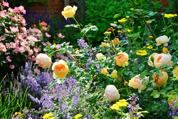 cottage garden with jude the obscure shrub rose, yellow yarrow, purple catmint after reader remodel contest 2013
