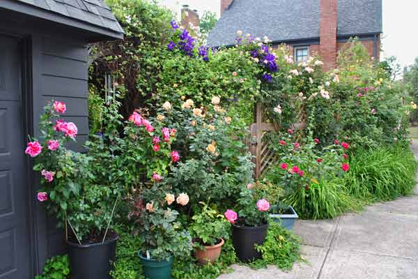 cottage garden with roses, climbers on lattice fence after reader remodel contest 2013