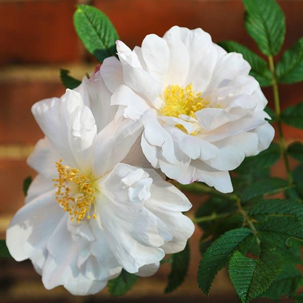 cottage garden with Henry Hudson rose variety after reader remodel contest 2013