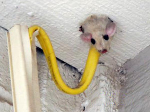dead mouse as part of This Old House's Home Inspection Nightmares 30