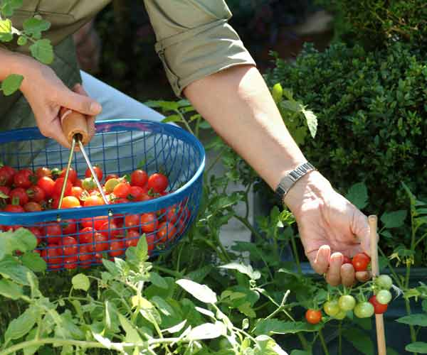picking cherry tomatoes, vegetable garden problems solved
