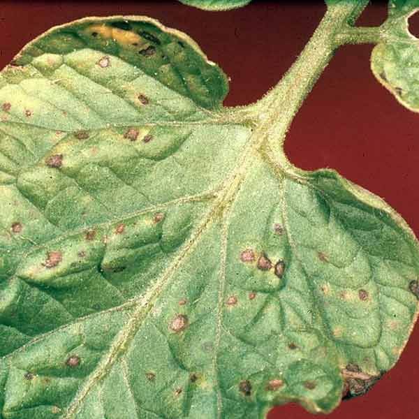 diseased tomato leaves, vegetable garden problems solved