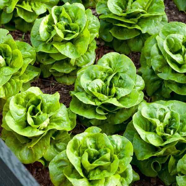 heads of lettuce in garden bed, vegetable garden problems solved