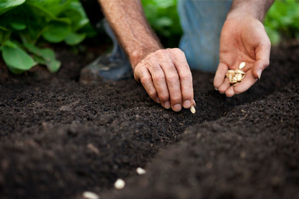 planting carrot seeds, vegetable garden problems solved