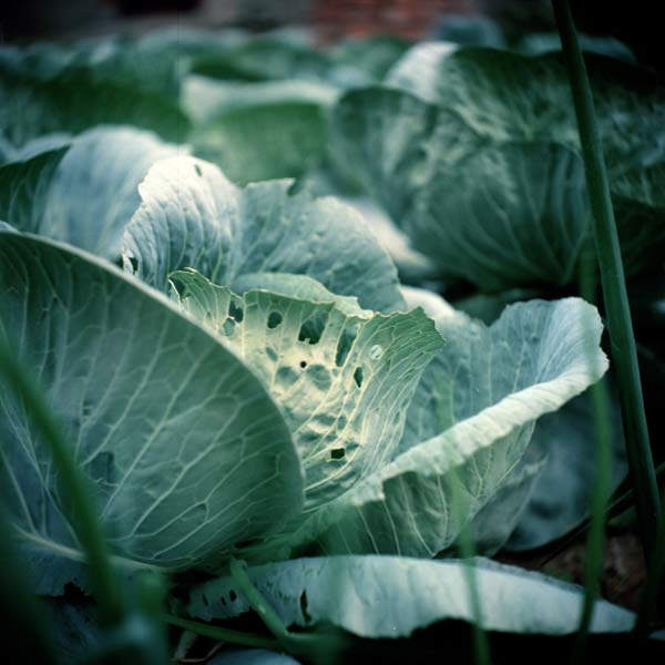 cabbage leaves with holes, vegetable garden problems solved