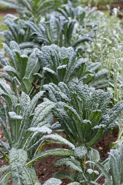 kale in garden, vegetable garden problems solved